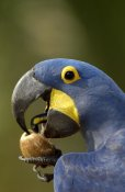 Pete Oxford - Hyacinth Macaw cracking open a Piassava Palm nut to drink the milk, Brazil