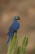 Pete Oxford - Lear's Macaw perching atop a cactus, less than 500 survive in the wild, Brazil