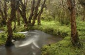 Pete Oxford - Polylepis forest and stream, El Angel Reserve, Andes Mountains,  Ecuador