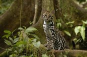 Pete Oxford - Ocelot standing on buttress root, Amazon rainforest, Ecuador