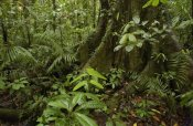 Pete Oxford - Buttress roots  rainforest vegetation, Yasuni National Park, Ecuador