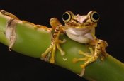 Pete Oxford - Chachi Tree Frog adult, Choco Rainforest, Ecuador