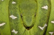 Pete Oxford - Emerald Tree Boa coiled, Amazon, Ecuador