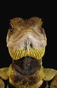 Pete Oxford - Bocourt's Dwarf Iguana portrait, Esmeraldas, Choco Rainforest, Ecuador