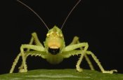 Pete Oxford - Katydid close-up portrait, Ecuador