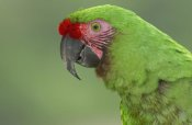 Pete Oxford - Military Macaw portrait, Amazon rainforest, Ecuador