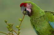Pete Oxford - Military Macaw feeding on palm fruit, Amazon rainforest, Ecuador