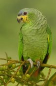 Pete Oxford - Orange-winged Parrot perching, Amazon rainforest, Ecuador