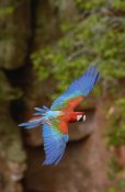 Pete Oxford - Red and Green Macaw flying, Mato Grosso do Sul, Brazil