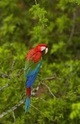 Pete Oxford - Red and Green Macaw perching, Mato Grosso do Sul, Brazil