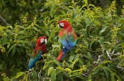 Pete Oxford - Red and Green Macaw pair, Cerrado habitat, Mato Grosso do Sul, Brazil