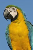 Pete Oxford - Blue and Yellow Macaw portrait,  South America