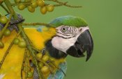 Pete Oxford - Blue and Yellow Macaw feeding on palm fruit, South America