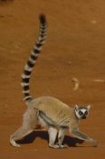 Pete Oxford - Ring-tailed Lemur walking, Berenty Reserve, Madagascar