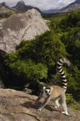 Pete Oxford - Ring-tailed Lemur, near Andringitra Mountains, Madagascar