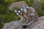 Pete Oxford - Ring-tailed Lemur and young,  Andringitra Mountains,  Madagascar