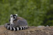 Pete Oxford - Ring-tailed Lemur resting on rocks in the Andringitra Mountains, Madagascar