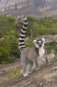 Pete Oxford - Ring-tailed Lemur portrait on rocks in the Andringitra Mountains, Madagascar