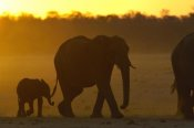Pete Oxford - African Elephant mother and calf silhouetted at sunset, Africa