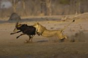 Pete Oxford - African Lion female bringing down Sable Antelope , Africa