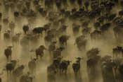 Pete Oxford - Cape Buffalo herd stampeding, Africa
