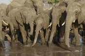 Pete Oxford - African Elephant herd at watering hole, Africa