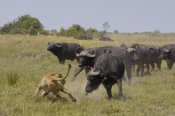 Pete Oxford - African Lion evading retaliation by Cape Buffalo herd, Africa