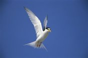 Tom Vezo - Least Tern flying against blue sky, Long Island, New York