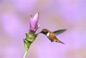 Tom Vezo - Rufous Hummingbird male feeding at flower, Green Valley, Arizona