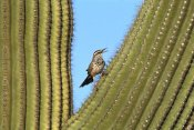 Tom Vezo - Cactus Wren perched on Saguaro cactus, Arizona