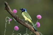 Tom Vezo - Green Jay perching, Rio Grande Valley, Texas