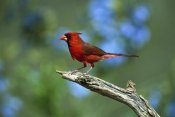 Tom Vezo - Northern Cardinal male perching, Rio Grande Valley, Texas