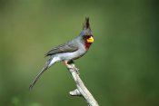 Tom Vezo - Pyrrhuloxia male perching, Rio Grande Valley, Texas