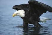 Tom Vezo - Bald Eagle wading through water, Kenai Peninsula, Alaska