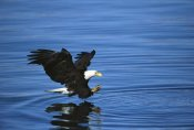 Tom Vezo - Bald Eagle striking at fish, Kenai Peninsula, Alaska