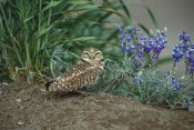 Tom Vezo - Burrowing Owl with lupine, North America