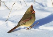 Tom Vezo - Northern Cardinal female on snowy ground, Long Island, New York