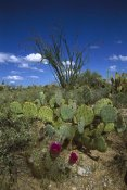 Tom Vezo - Hedgehog Cactus , Prickly Pear , and giant Saguaro