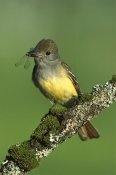 Tom Vezo - Great Crested Flycatcher with insect, Adirondack Mountains, New York