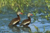 Tom Vezo - Black-bellied Whistling Duck pair wading, Rio Grand Valley, Texas