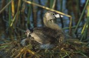Tom Vezo - Pied-billed Grebe with a chick on its back, Rio Grande Valley, Texas