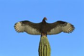 Tom Vezo - Turkey Vulture perching on Cardon cactus, sunning itself, Sonora, Mexico