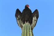Tom Vezo - Turkey Vulture perching on Cardon cactus, Sonora, Mexico