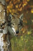 Tom Vezo - Timber Wolf portrait peering out from behind a tree, Teton Valley, Idaho