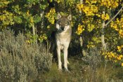 Tom Vezo - Timber Wolf portrait among Aspen trees, Teton Valley, Idaho