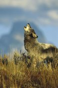 Tom Vezo - Timber Wolf adult howling, Teton Valley, Idaho