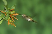 Tom Vezo - Black-chinned Hummingbird female feeding at flower, Green Valley, Arizona