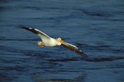 Tom Vezo - American White Pelican flying, Saskatchewan, Canada