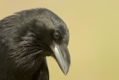Tom Vezo - Common Raven portrait, Green Valley, Arizona