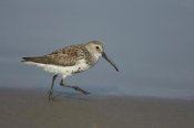 Tom Vezo - Dunlin walking along shoreline, Rio Grande Valley, Texas